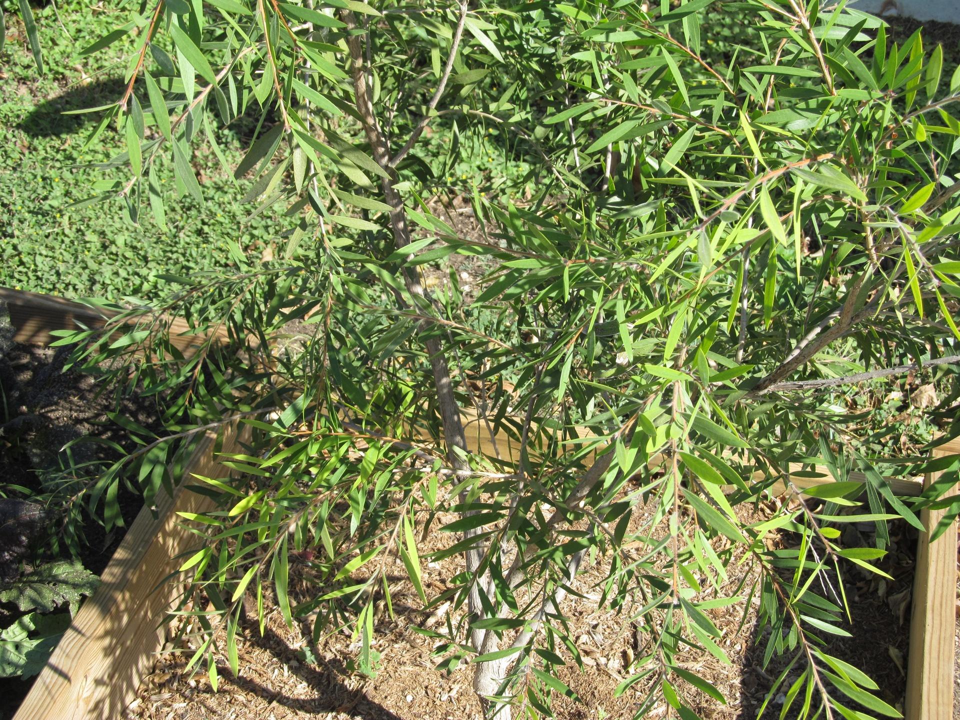Grow Green - Bottlebrush